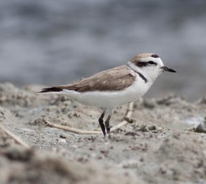 Snowy plover. Photo by Michael Todd