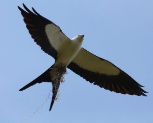 Swallow-tailed kite. Photo by Michael Todd