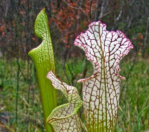 White-top pitcher plant. Photo by FloridaHikes.