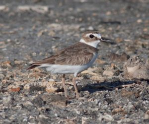 Wilson's Plover. Photo by Michael Todd