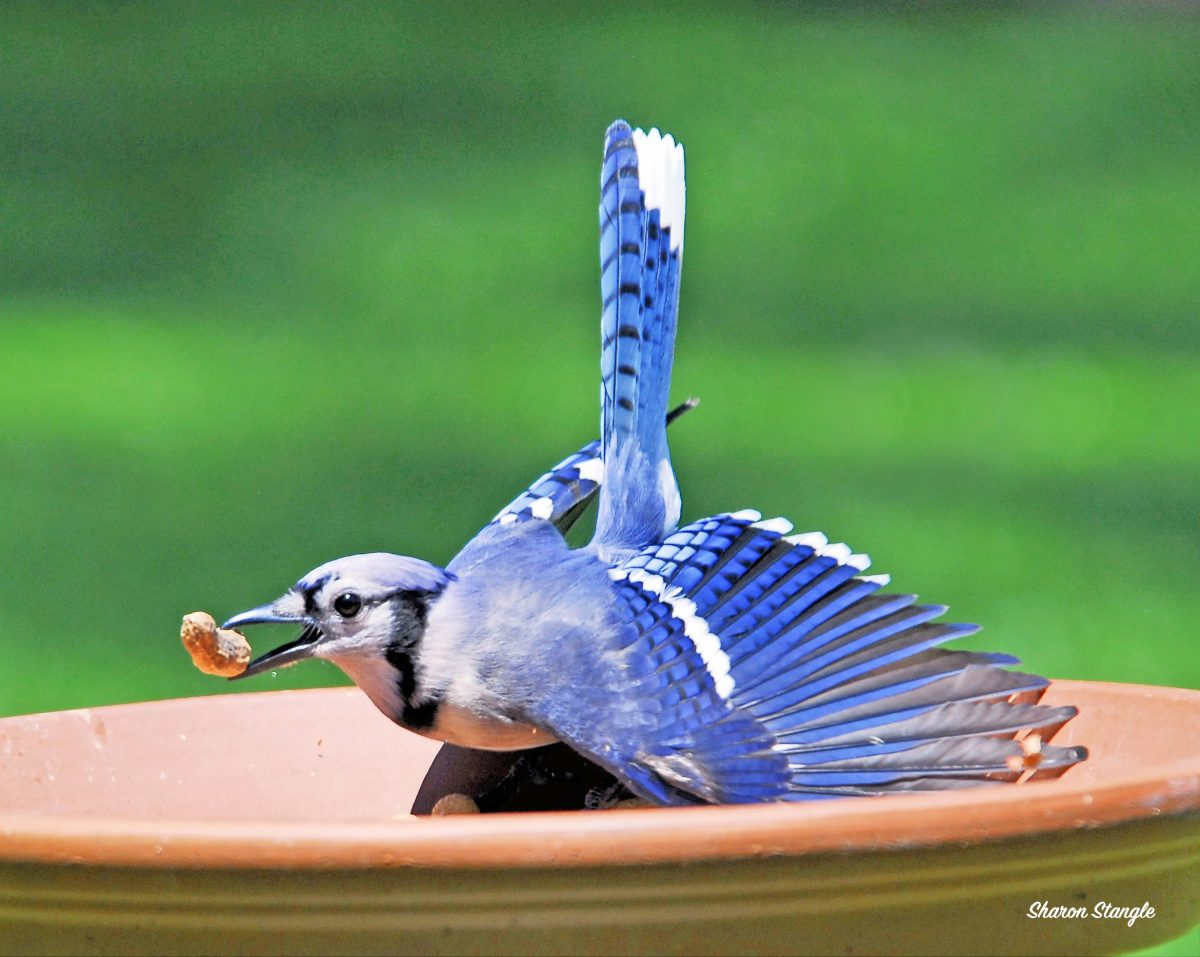 Blue Jay getting a peanut by Sharon Stangle