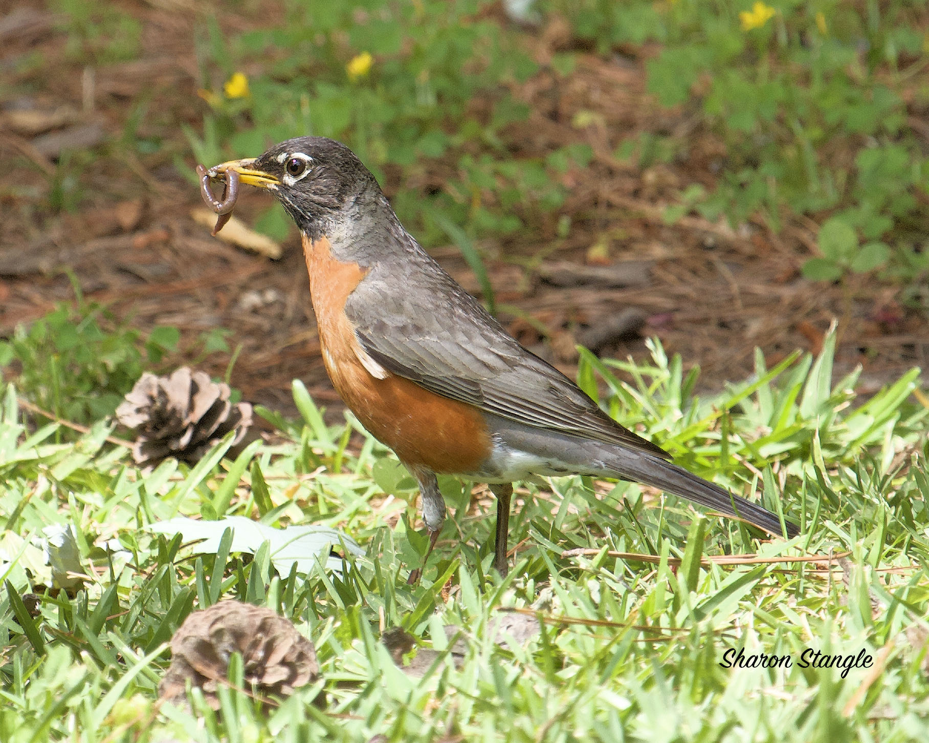 American Robin With a Worm by Sharon Stangle