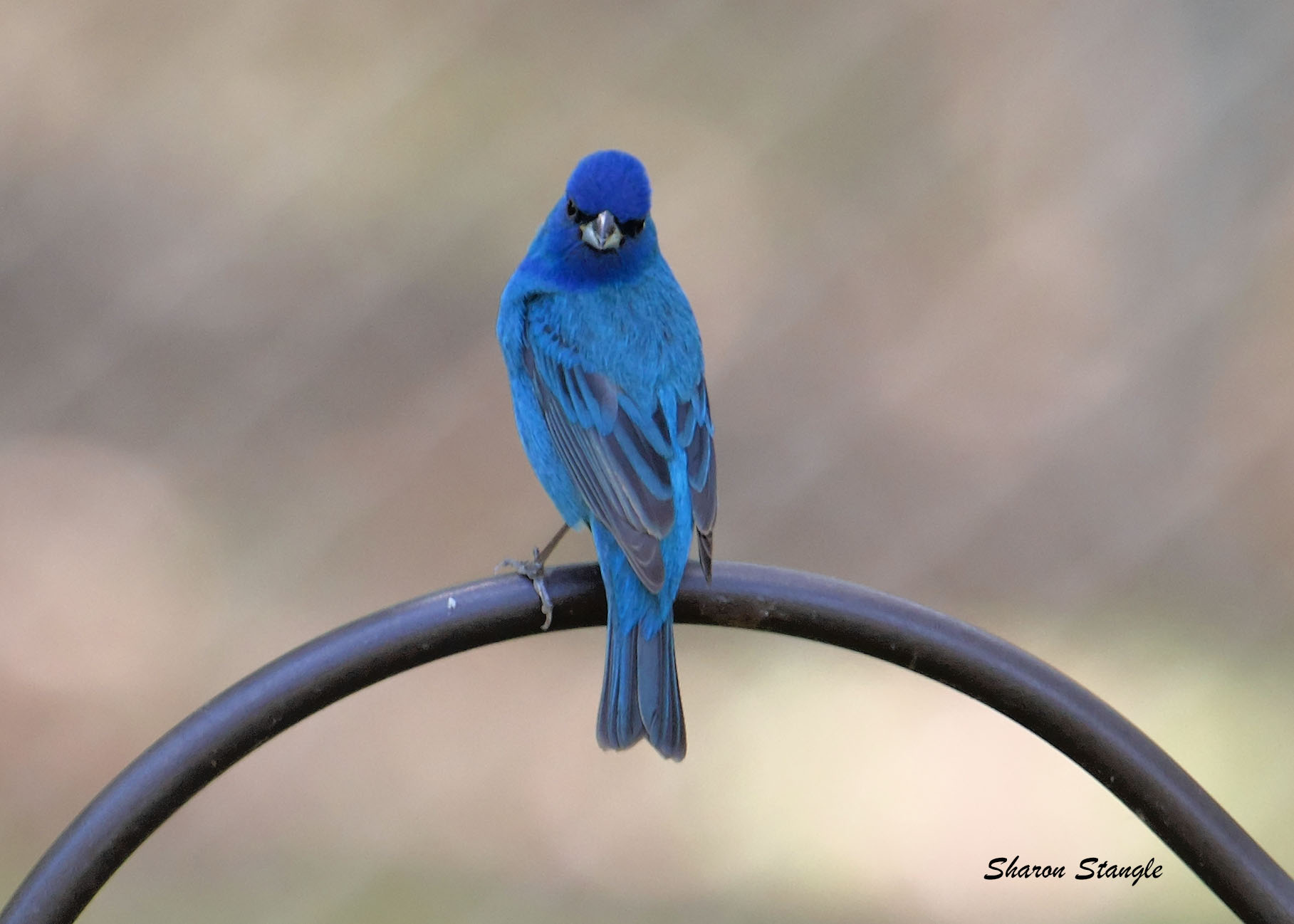 Indigo Bunting by Sharon Stangle