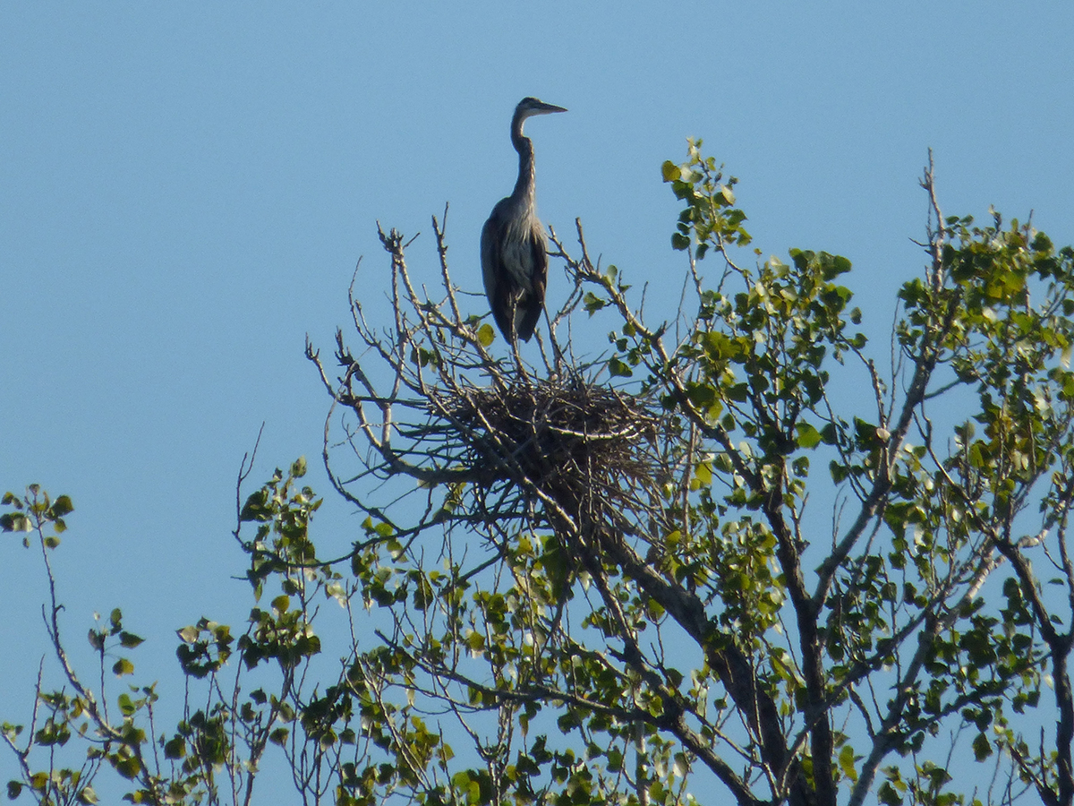 Great Heron Siege, Benbrook, Texas (2017)