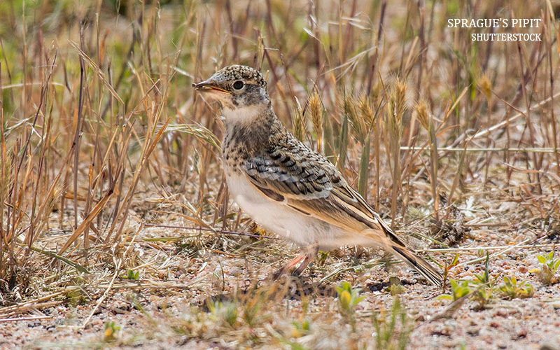 Pipits in the Potholes: Birding in North Dakota