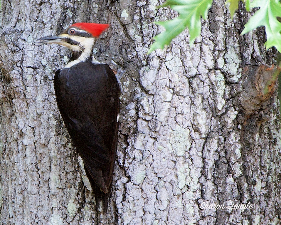 Pileated Woodpecker by Sharon Stangle