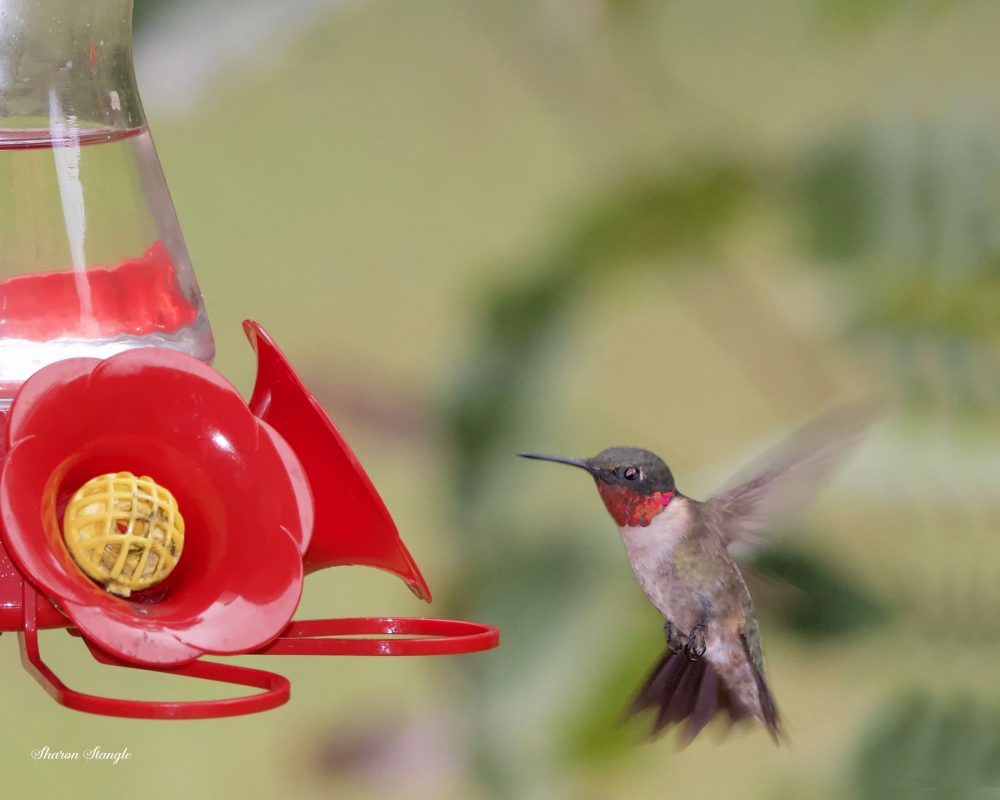 Ruby-throated Male Hummingbird by Sharon Stangle