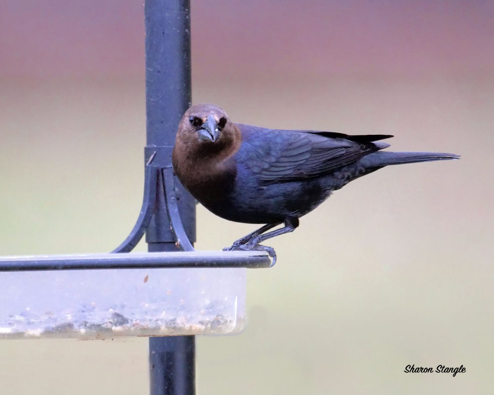 Brown-headed Cowbird at Feeder by Sharon Stangle