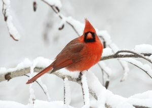Common and familiar throughout its range, even those who don't enjoy cardinals at their bird feeders recognize it as a sports mascot. Gain a new appreciation of this beautiful bird in a profile by Erik Bruhnke.
