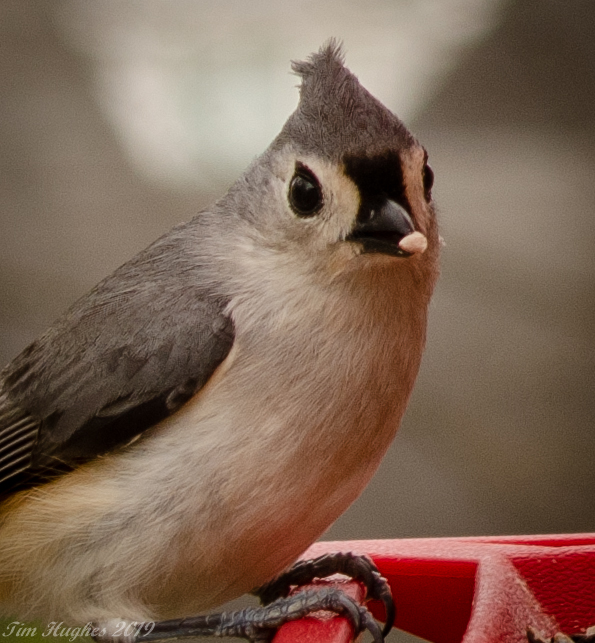 Hungry Titmouse by Tim Hughes