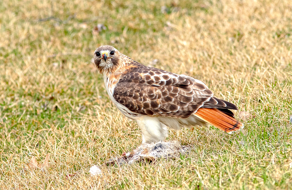 Hungry Redtail by Phillip Taylor