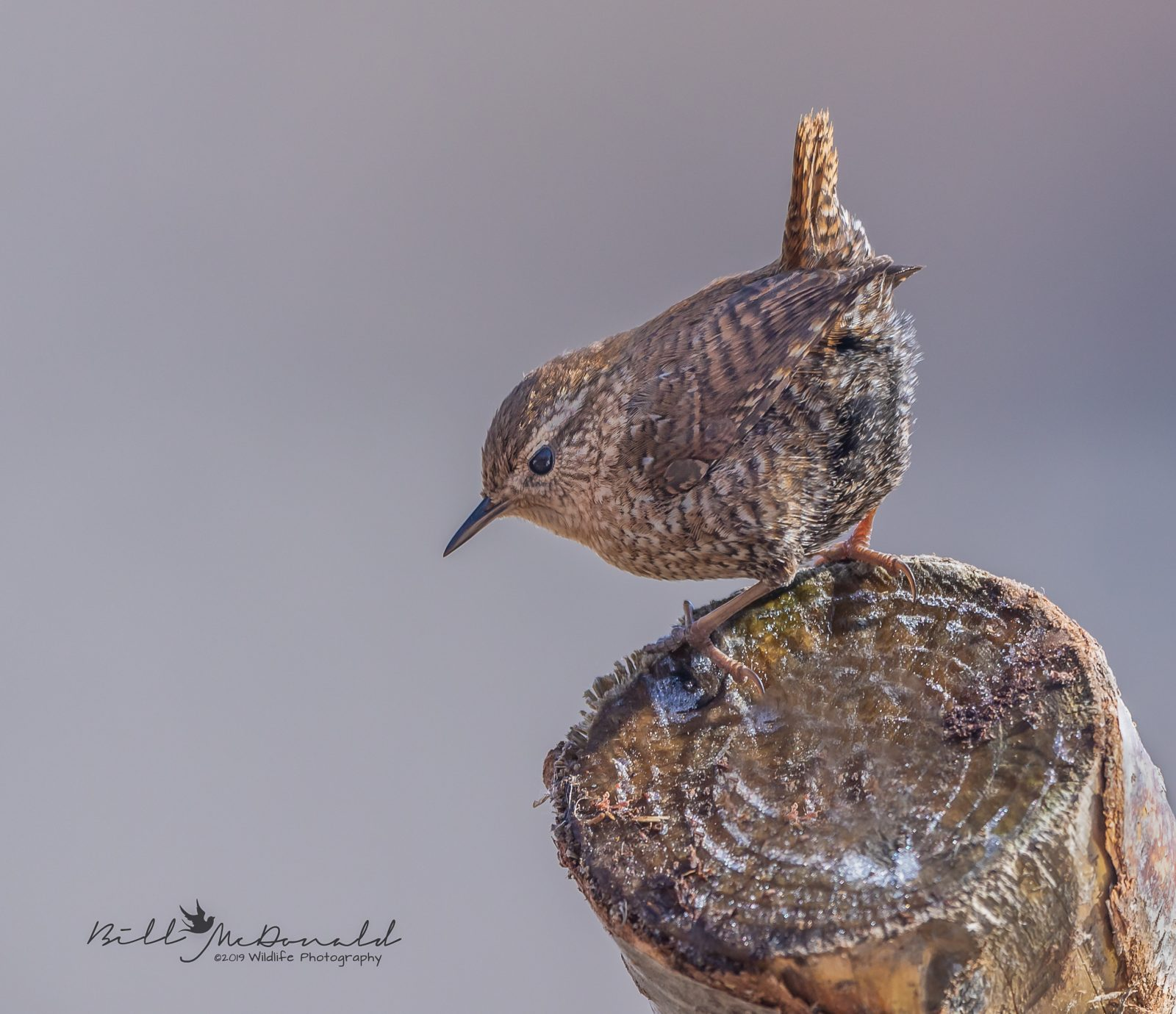 Winter Wren by Bill McDonald