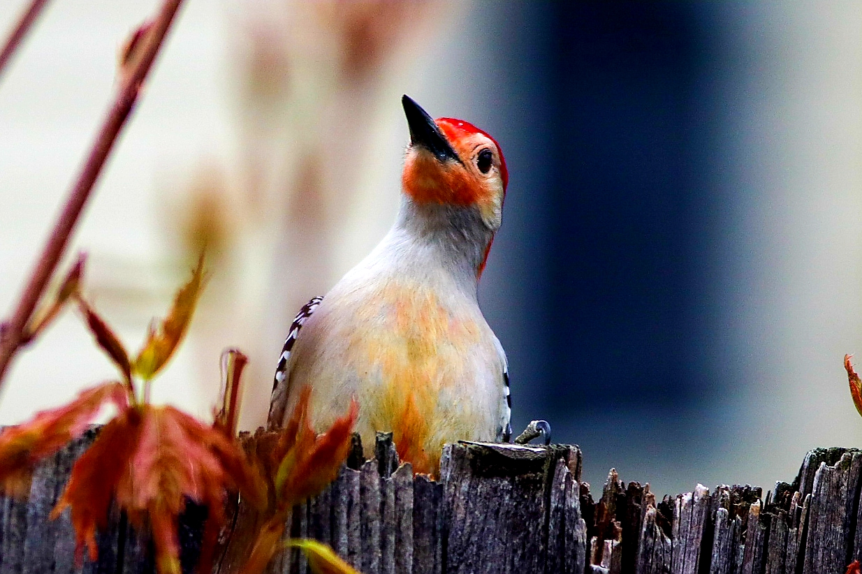 Red-bellied woodpecker by Corrina Figler