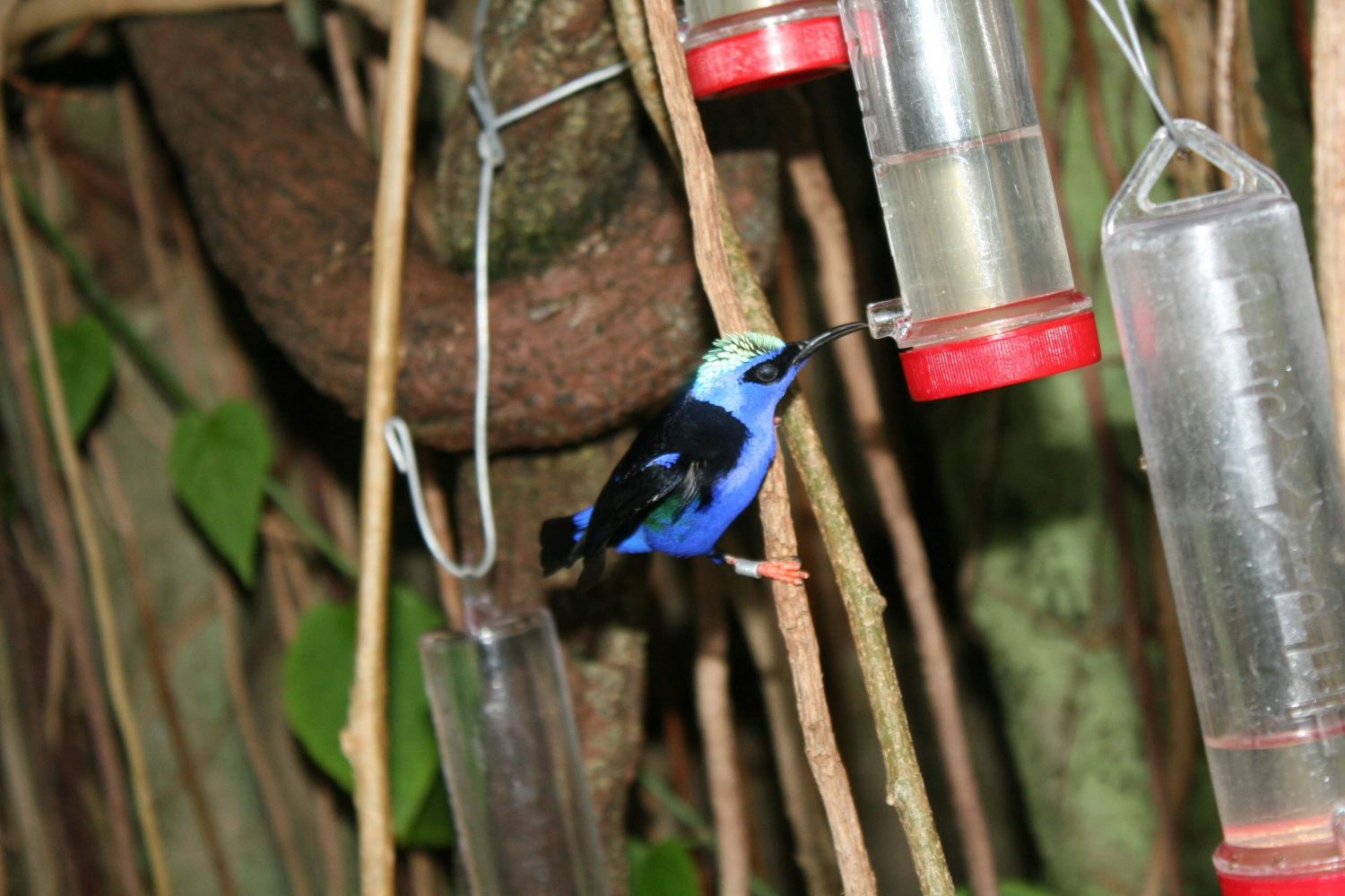 Red-legged Honeycreeper by Nathaniel Silva