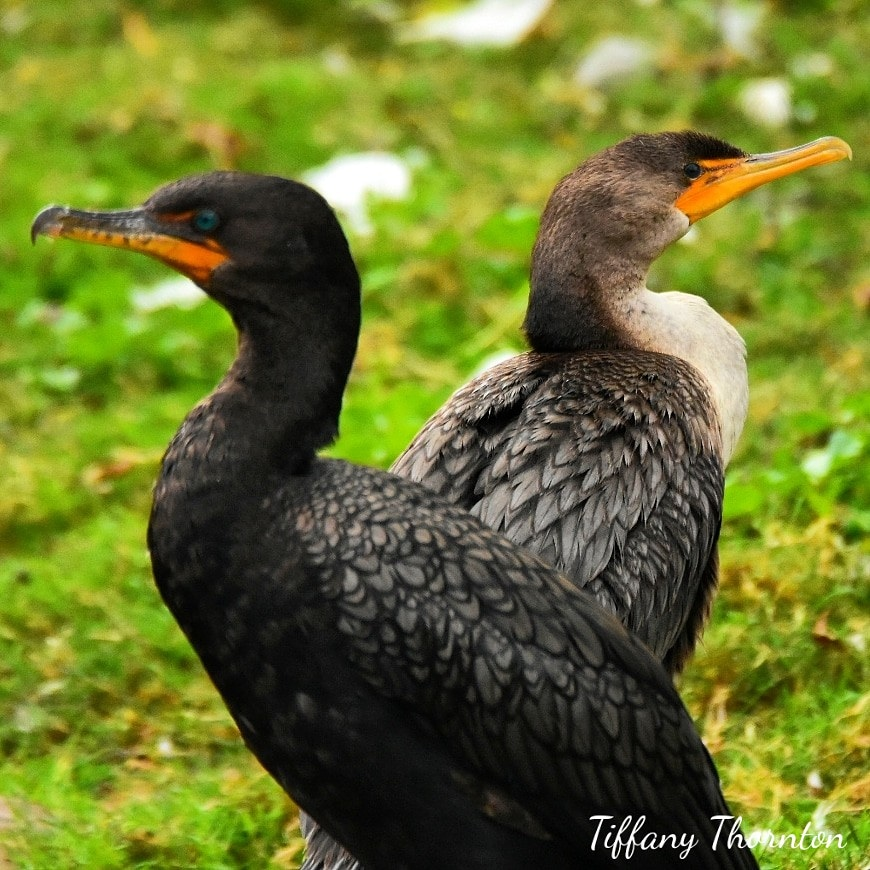 Cormorant couple by Tiffany Thornton