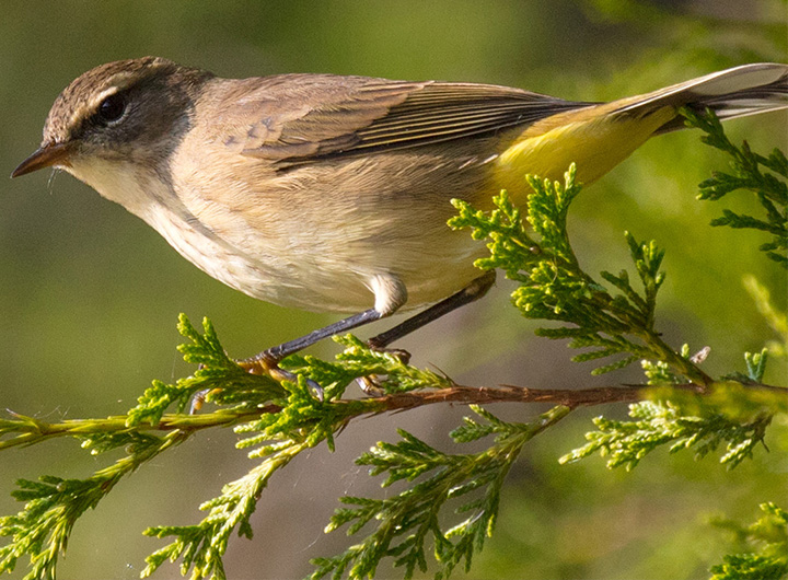 Autumn Warblers: Investigating the Nonbreeding Plumage of Eight Warbler Species