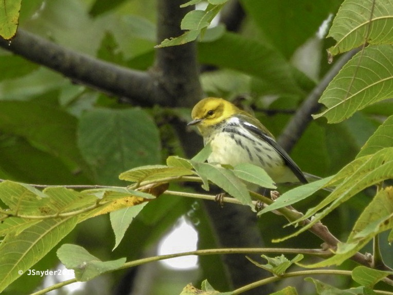 Black-throated green warbler by J. Snyder (Two Birds, 2018)