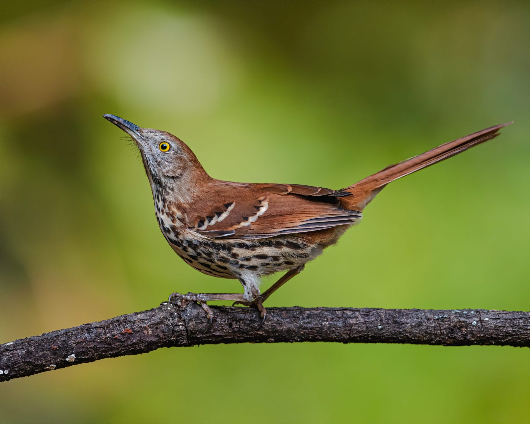 Brown Thrasher by Zach Kohlman