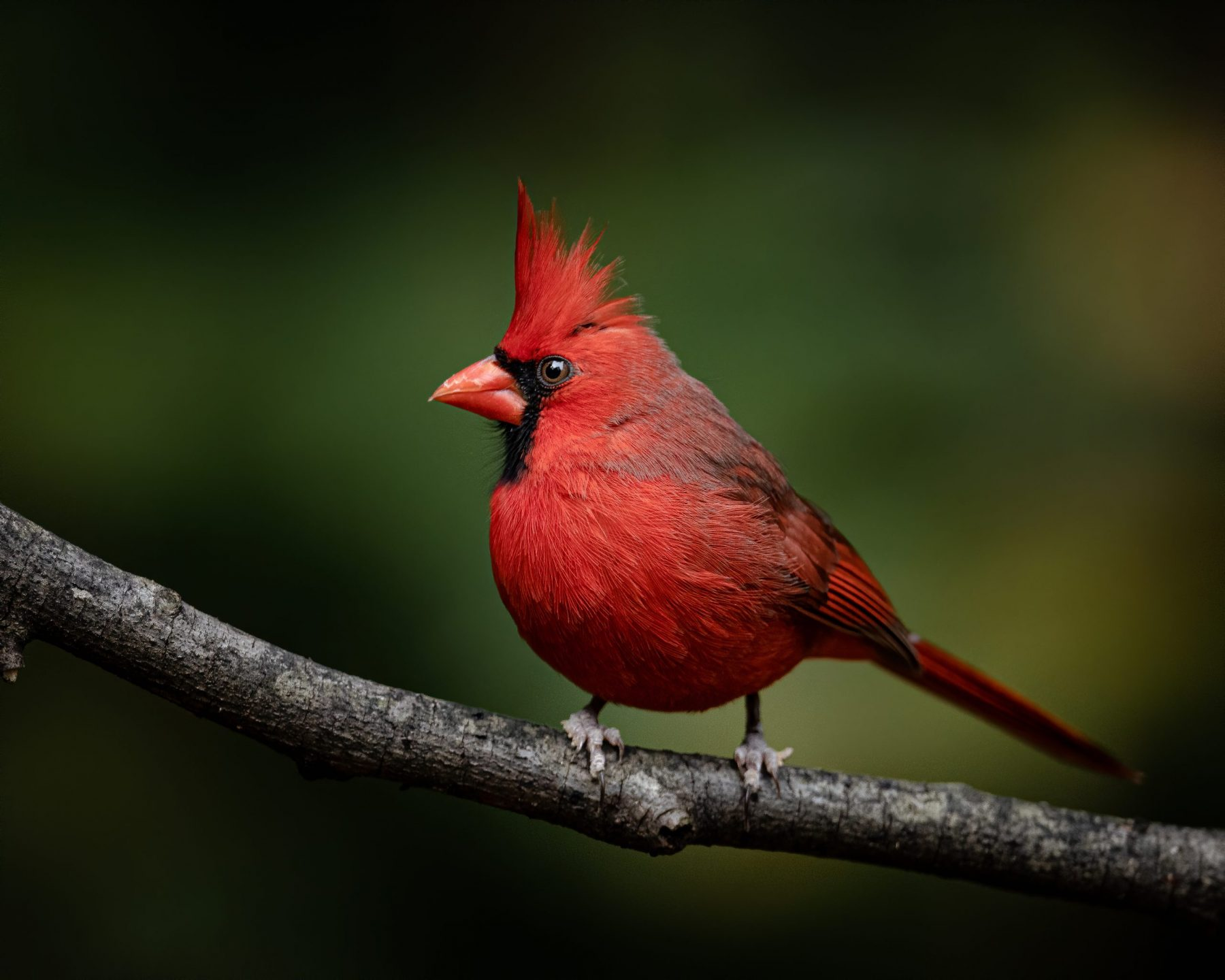 Male Northern Cardinal by Zach Kohlman