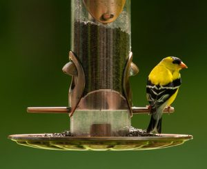American goldfinch at nyjer seed feeder. Photo by T. Smith.