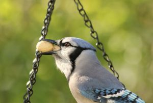 A blue jay indulges at a peanut feeder. Photo by L.D. Kirby.