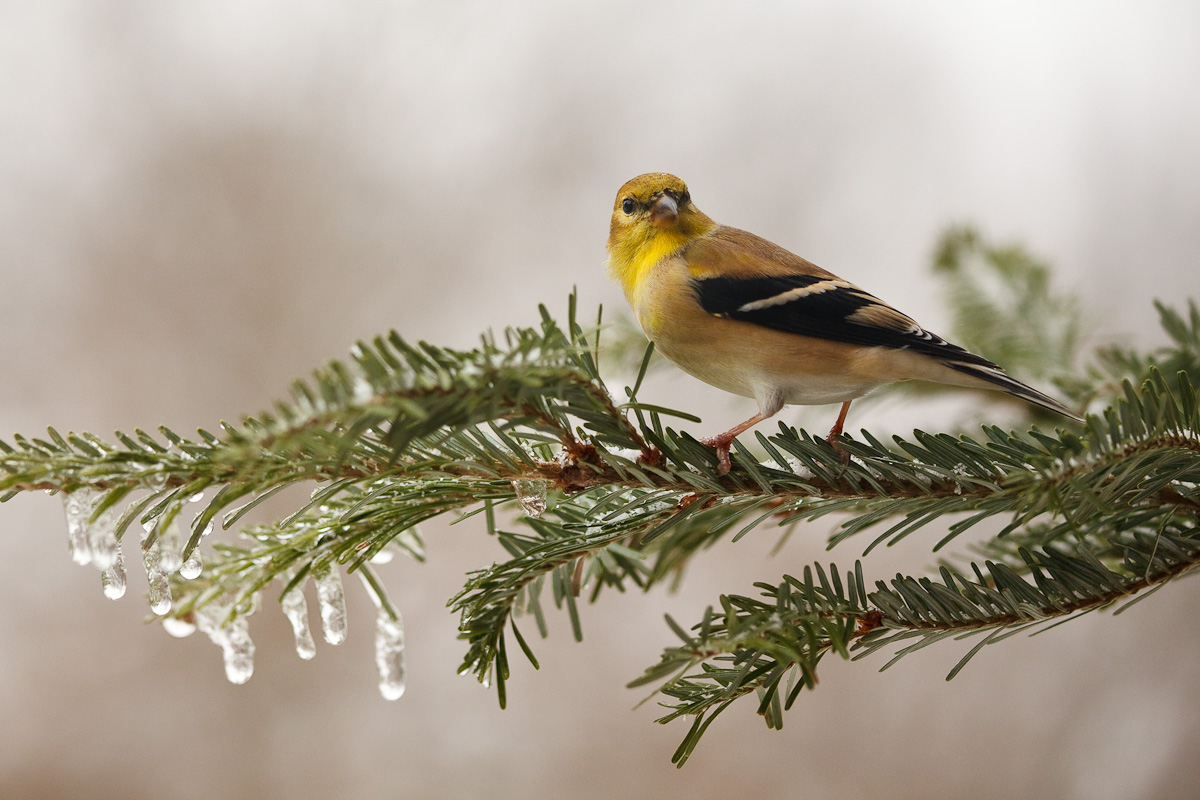 American goldfinch in winter plumage. Photo by G.F. Frampton