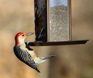 Red-bellied woodpecker on sunflower seed feeder. Photo by PublicDomainPictures.net.