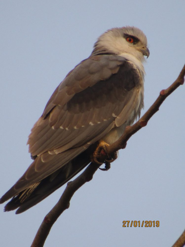 Black-winged Kite by Sylvester Alphonso