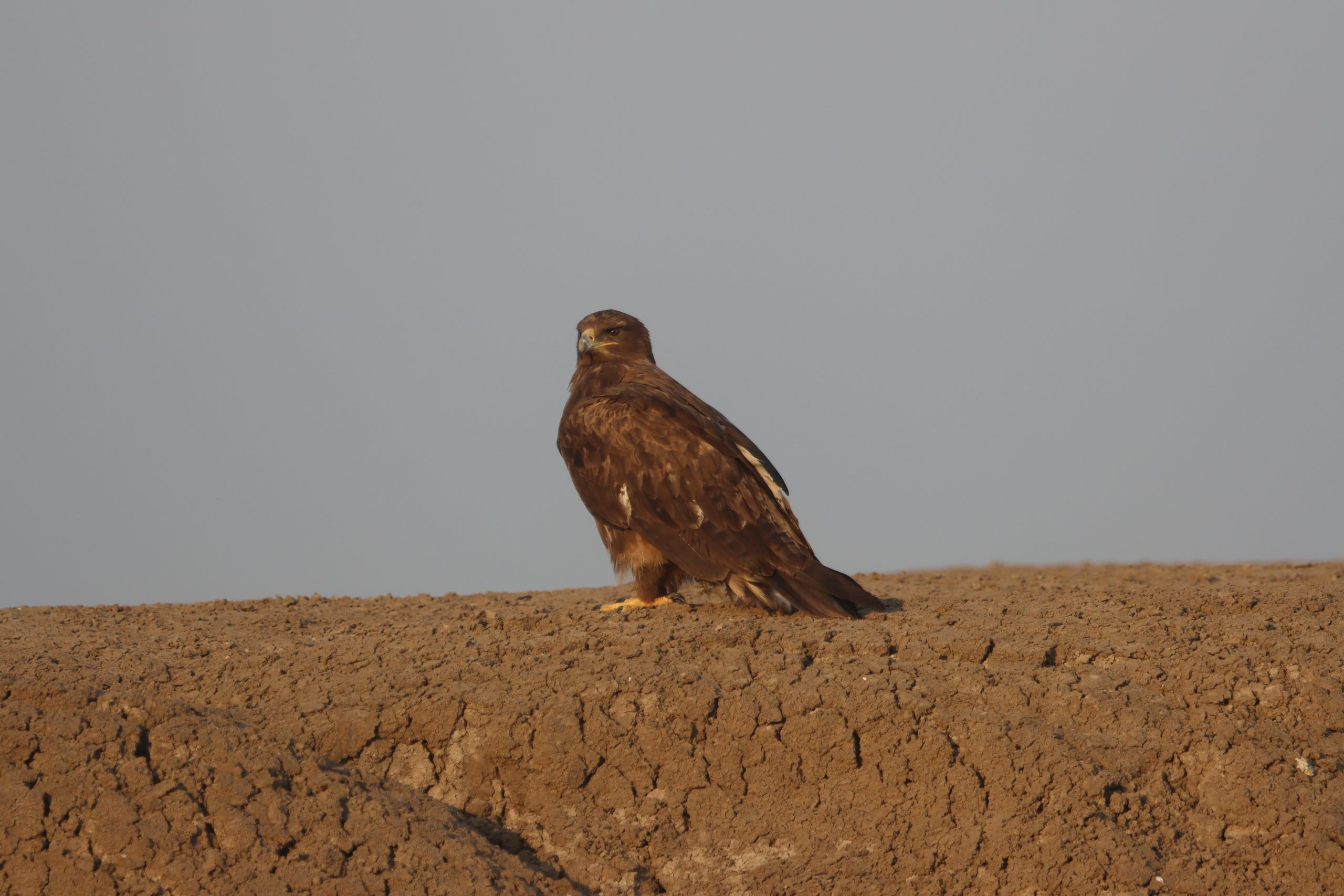 Resting Steppe Eagle by Rajubhai Patel