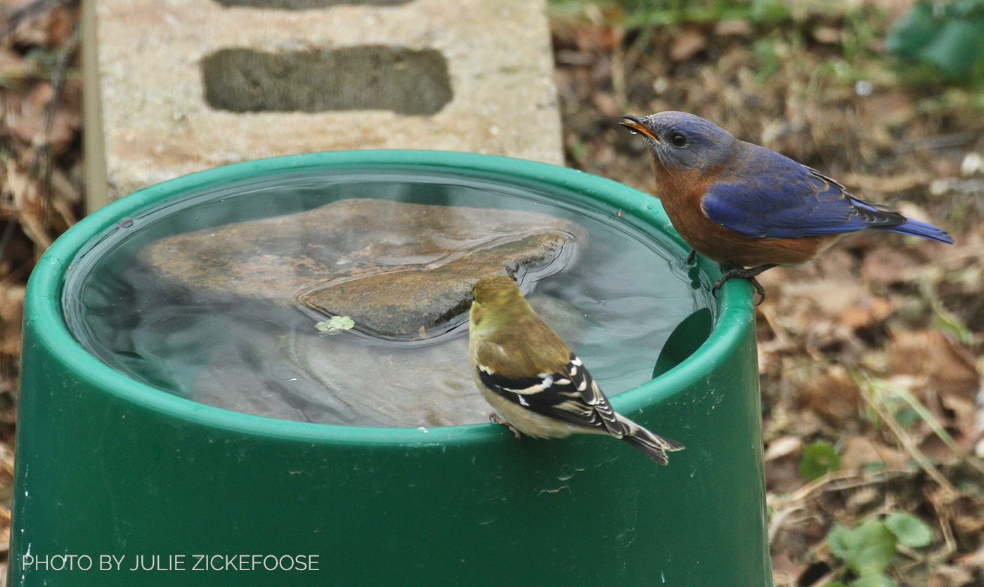 Winter birds stop at a heated dog dish to drink and bathe. Photo by Julie Zickefoose.