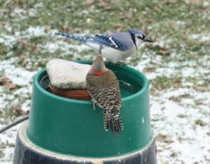 A blue jay and a northern flicker share a heated dog dish.