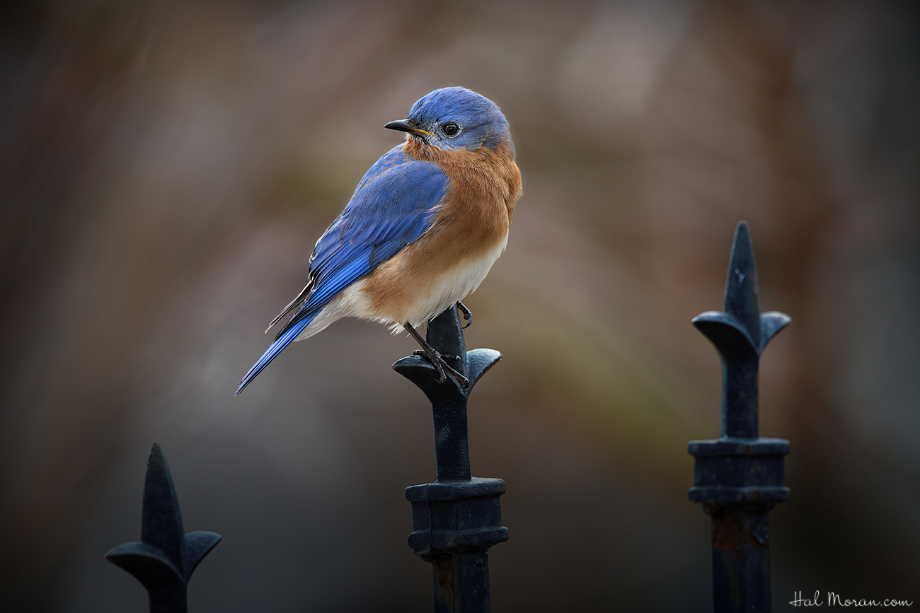 Bluebird by Hal Moran