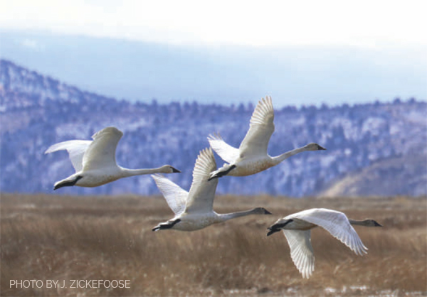 Tundra swans take off from Tule Lake, in the Klamath Basin of northern California and southern Oregon. Photo by Julie Zickefoose.