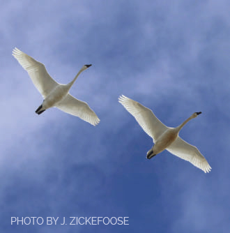 A pair of tundra swans overhead.