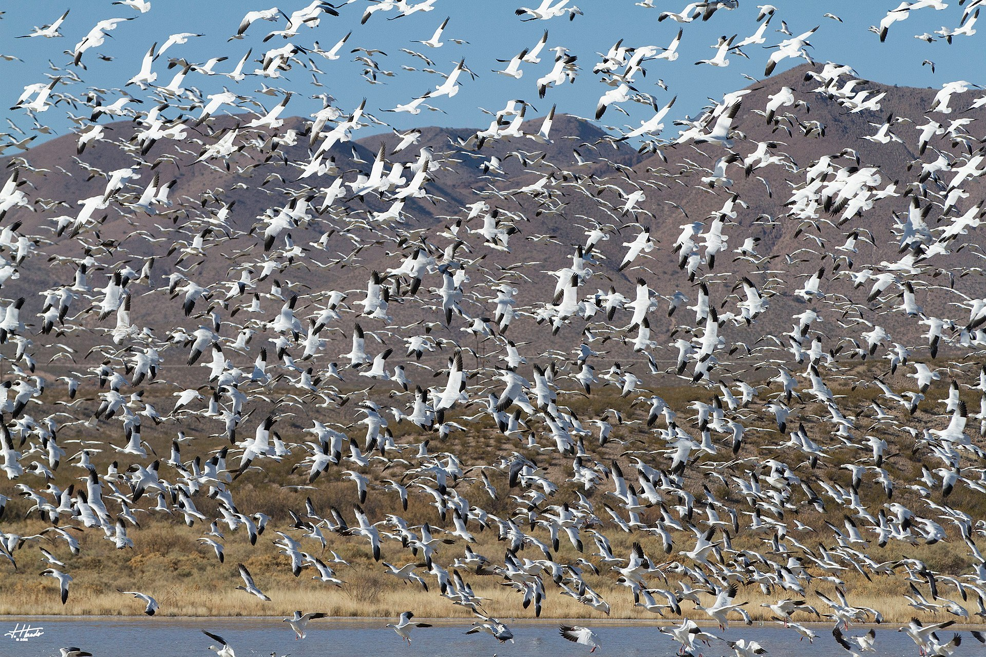 Snow Geese at Bosque del Apache. Photo by John581 / Wikimedia.