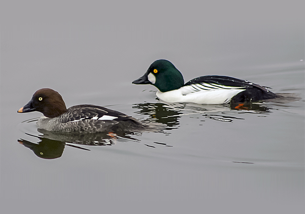 Common goldeneye pair, male (right) and female (left). Photo by Wikimedia.