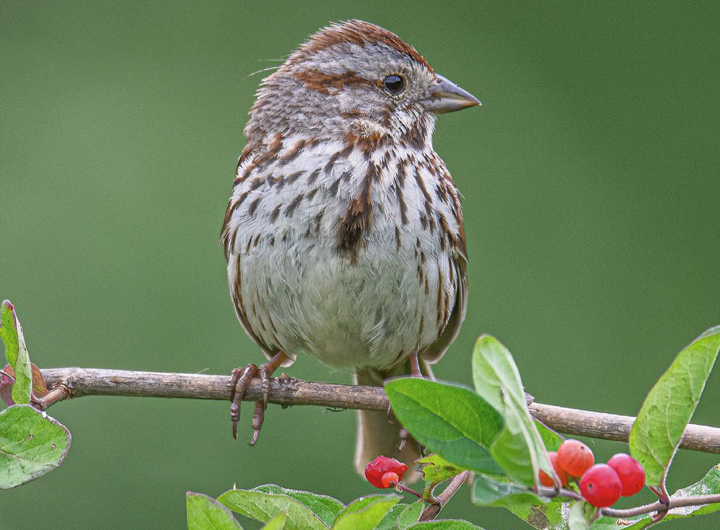 Spotting Sparrows: An Introductory Rundown of 30 Little Brown Jobs