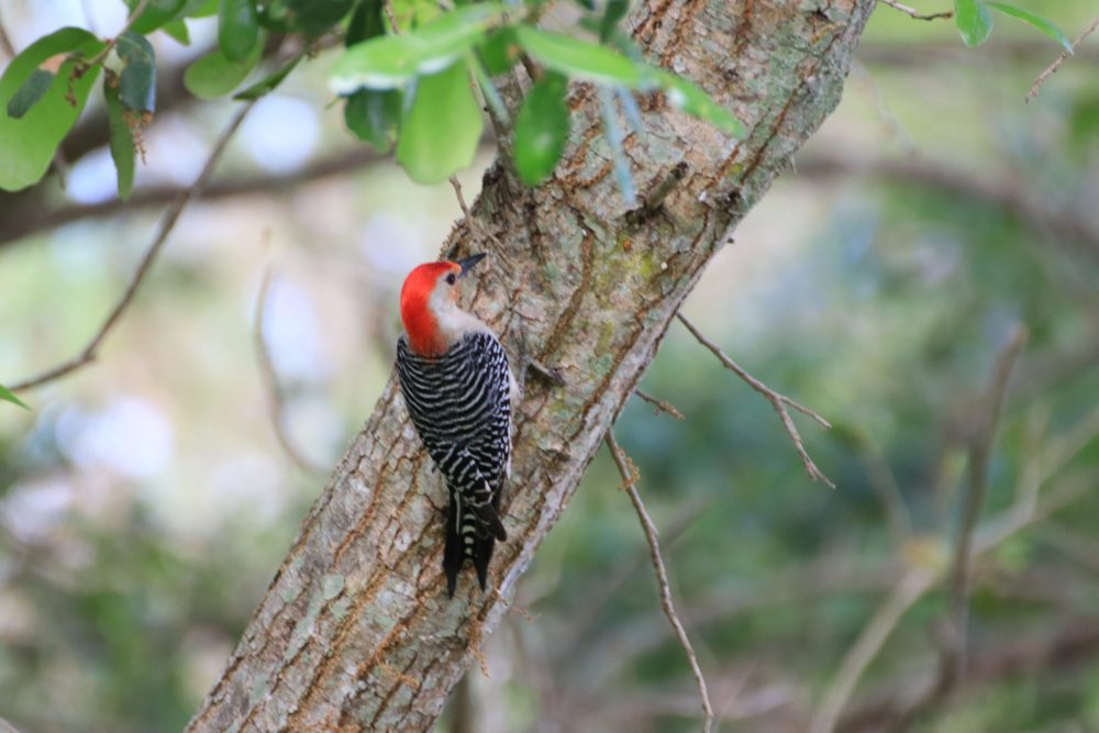 Red-bellied Woodpecker by Johnny Figueroa
