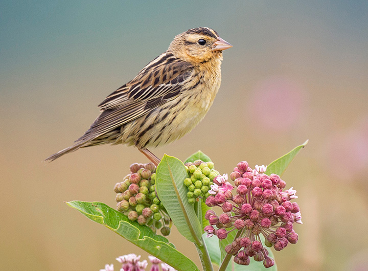 Female Songbird Guide: 60 Backyard Birds to Learn and Appreciate