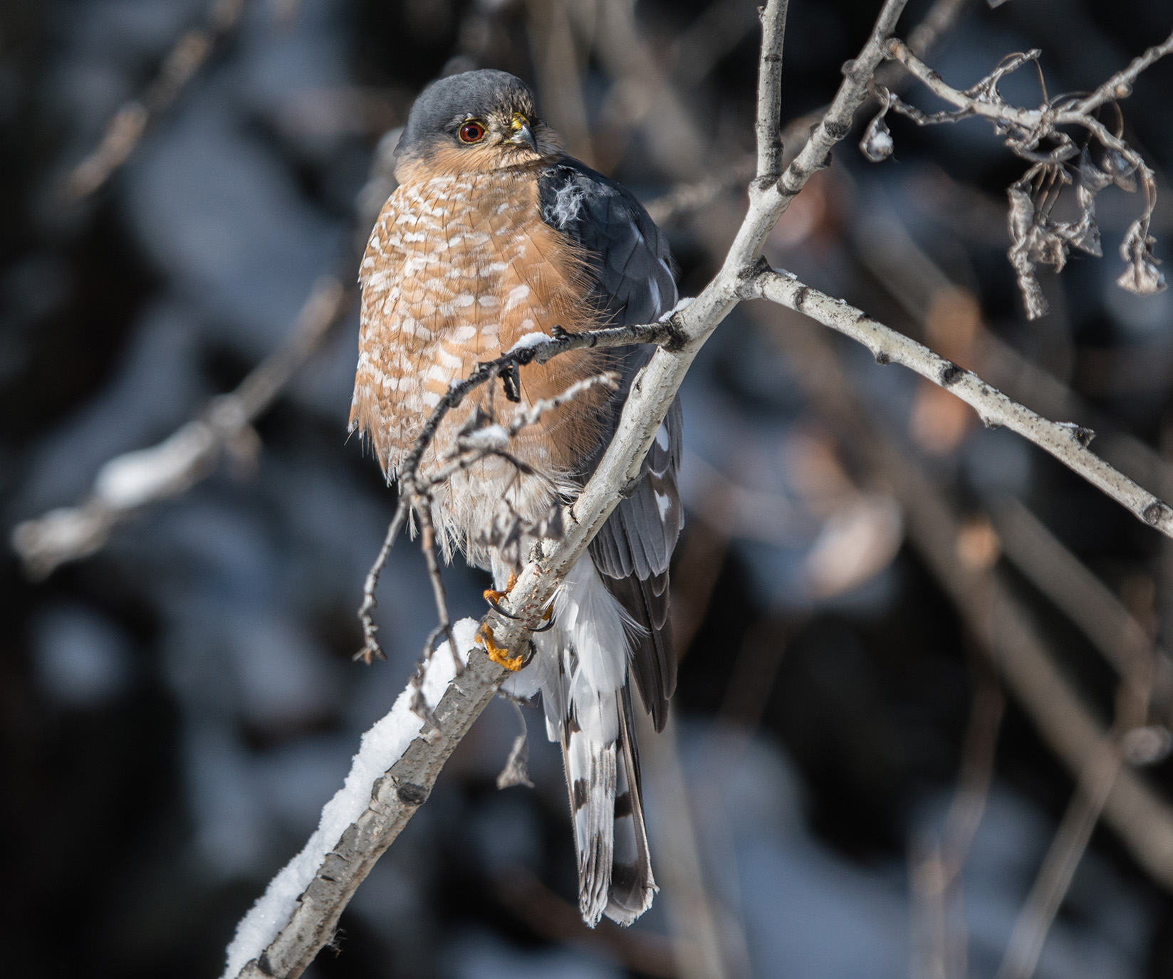 Sharp-shinned hawk by Shutterstock.