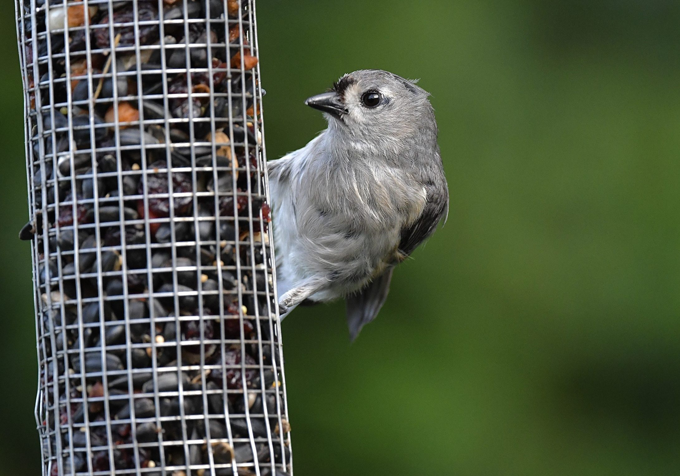 Tufted Titmouse by Ralph Bruno