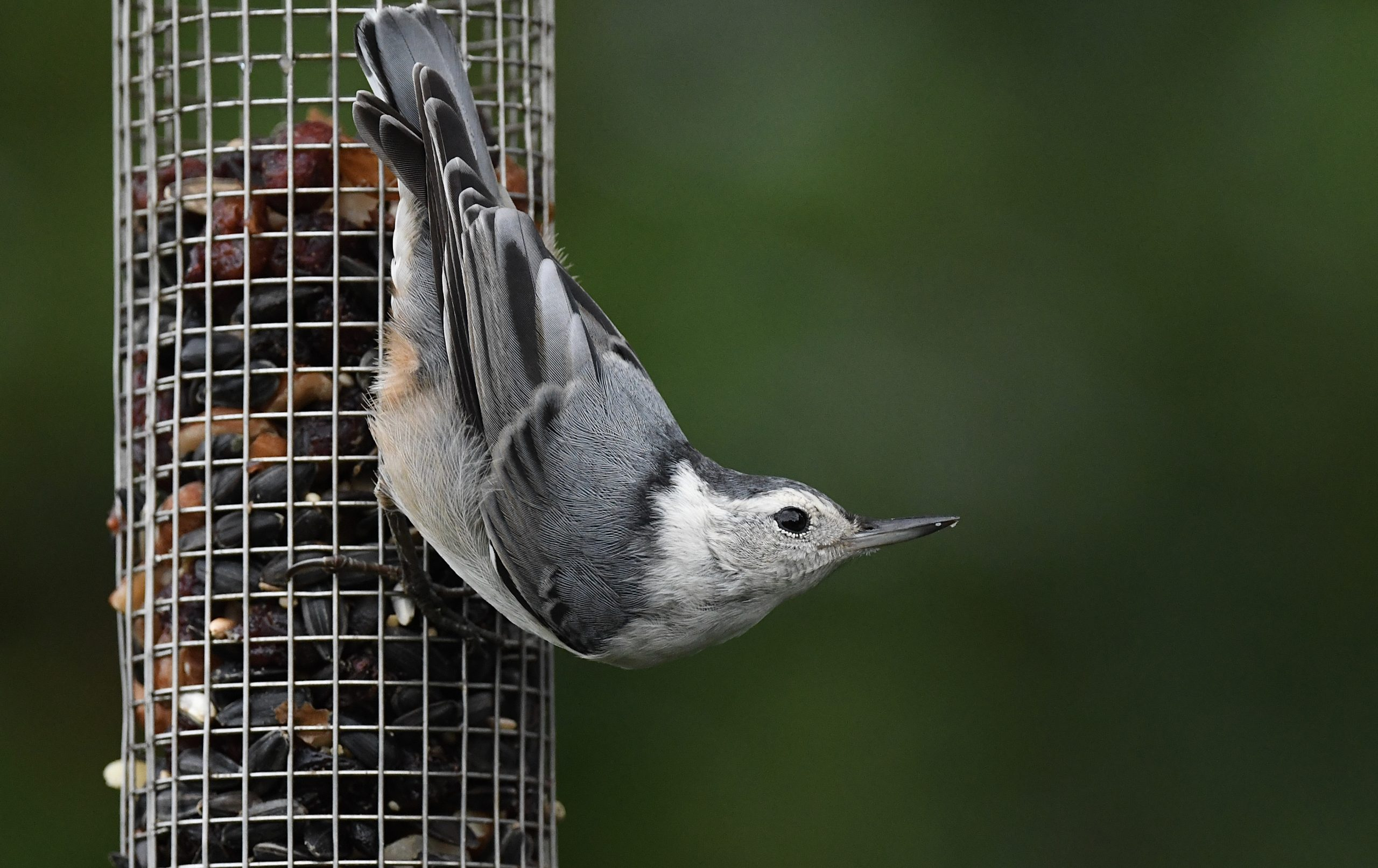 White-Breasted Nuthatch by Ralph Bruno