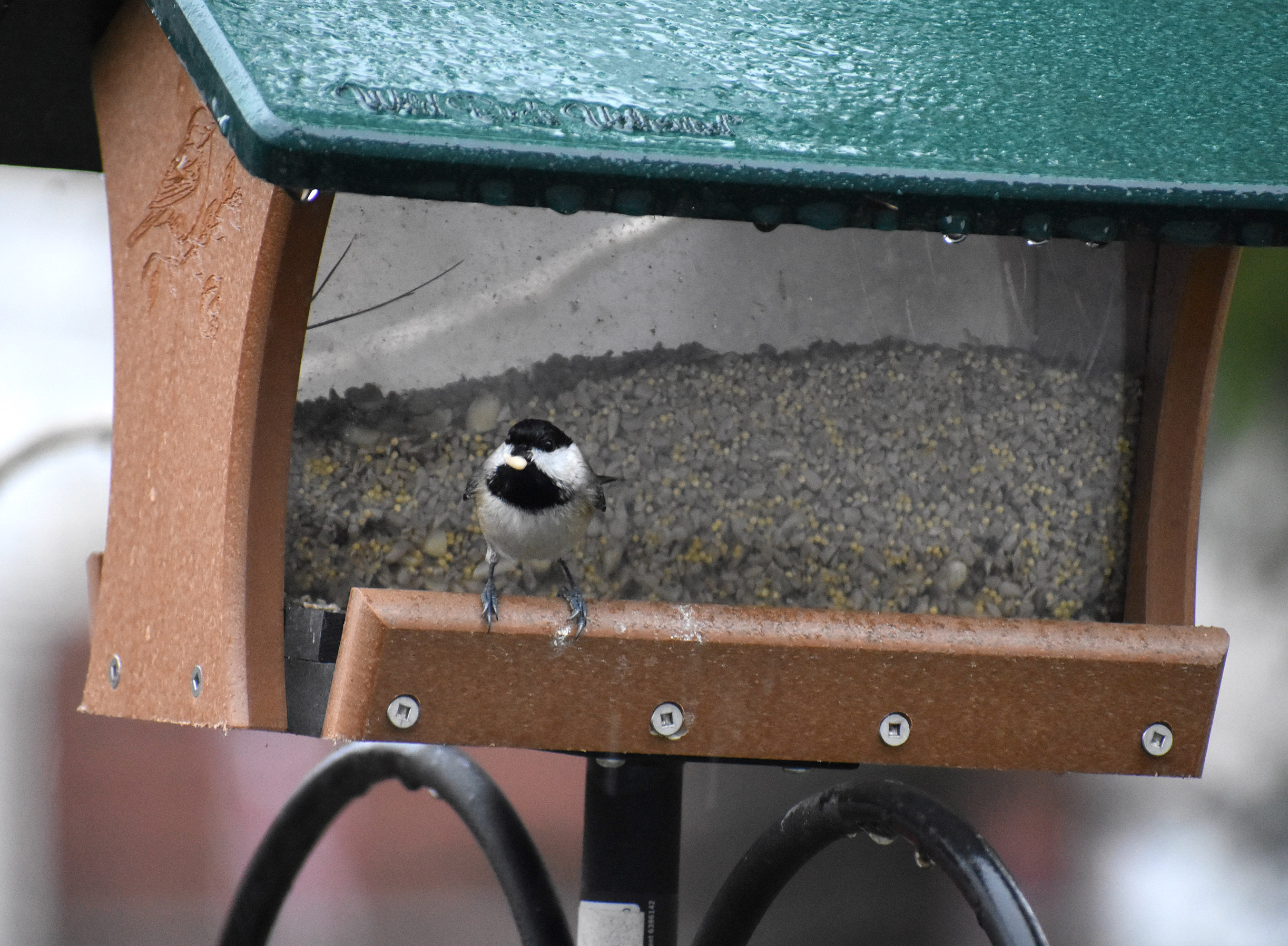 My favorite yard bird, the Carolina chickadee, about to depart with its quarry. Photo by Kelly Ball