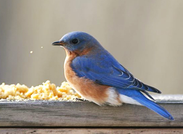 A male bluebird feasts upon suet dough. Photo by J. Zickefoose.