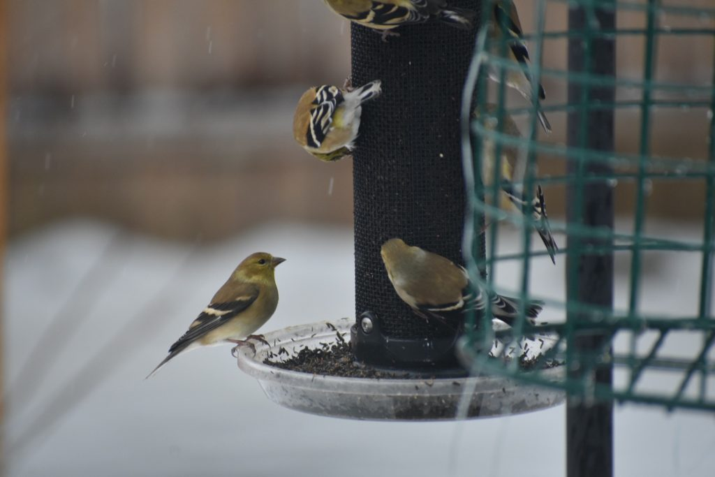 This kind of goldfinch action is the norm these days! Photo by Kelly Ball.