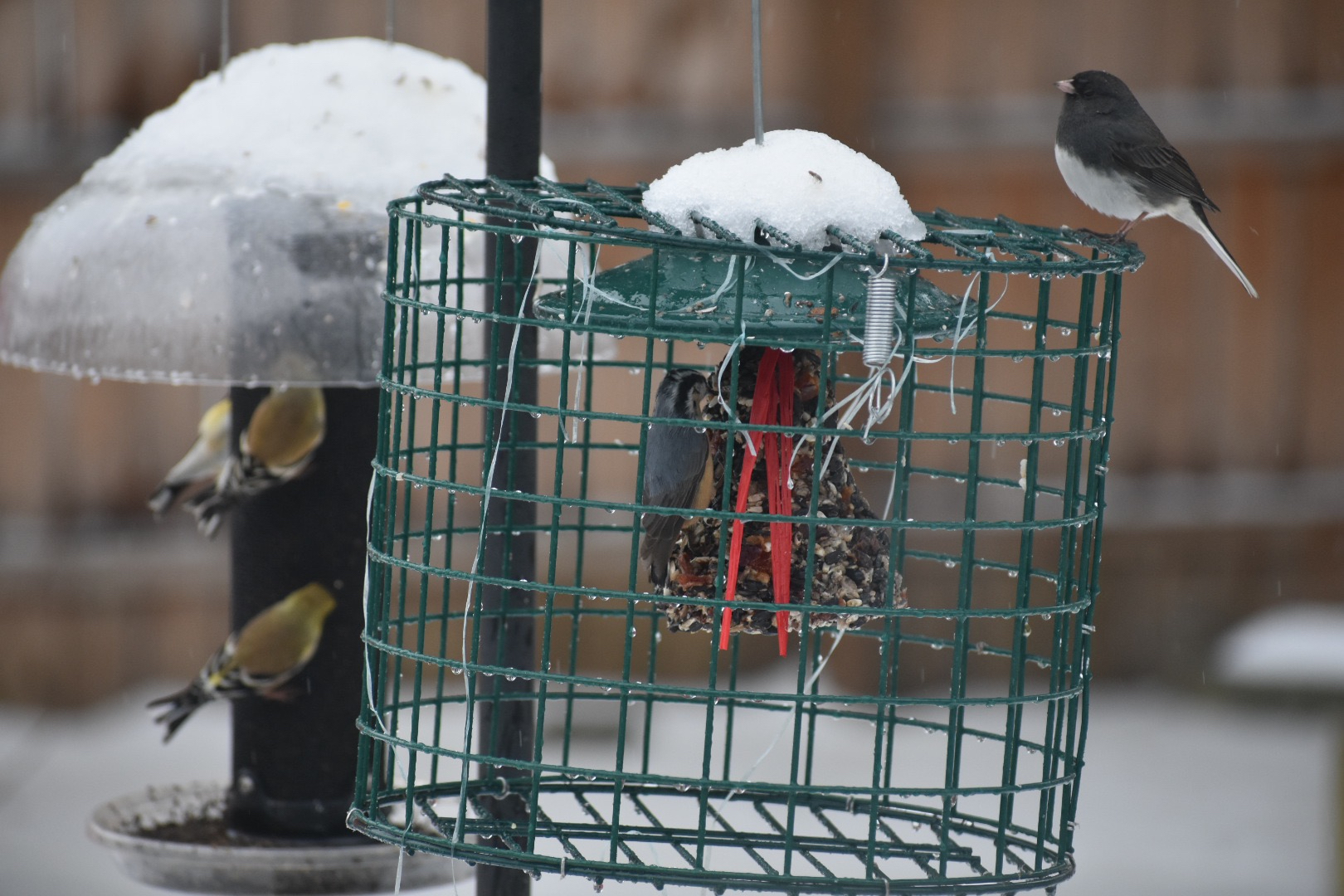 Dark-eyed junco, red-breasted nuthatch, and American goldfinches swung by my yard during a recent snowstorm. Photo by Kelly Ball.