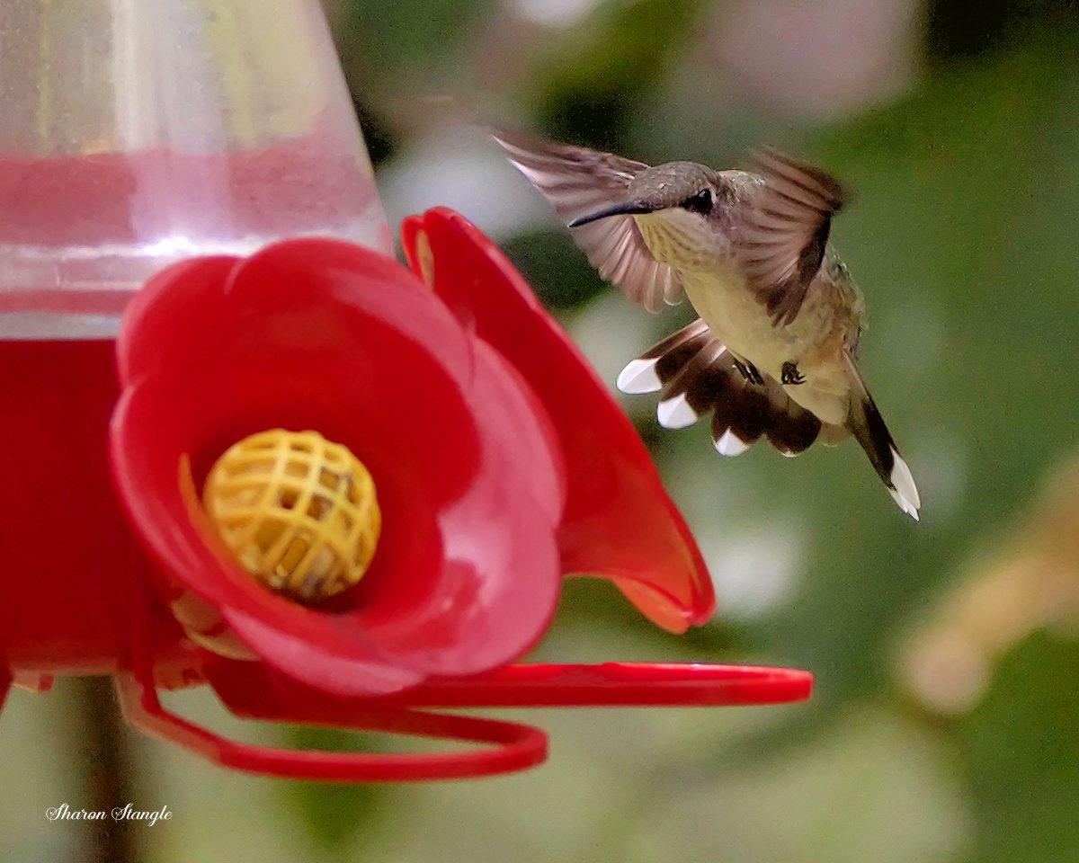 A hummingbird hovers in front of a hummingbird feeder.