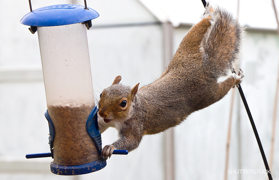 An acrobatic squirrel reaches for a backyard feeder. Photo by Shutterstock.