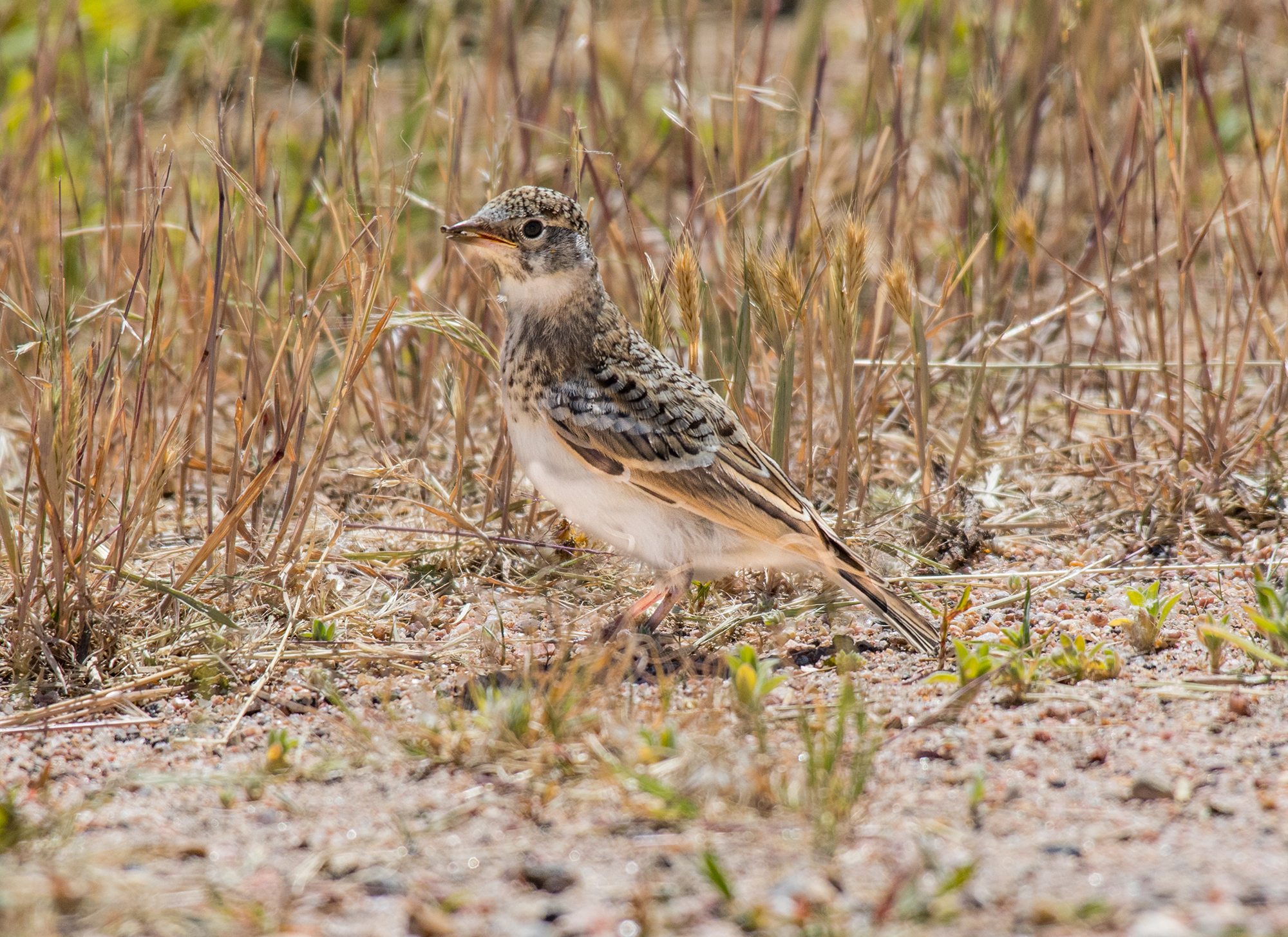 Sprague's pipit photo by Shutterstock