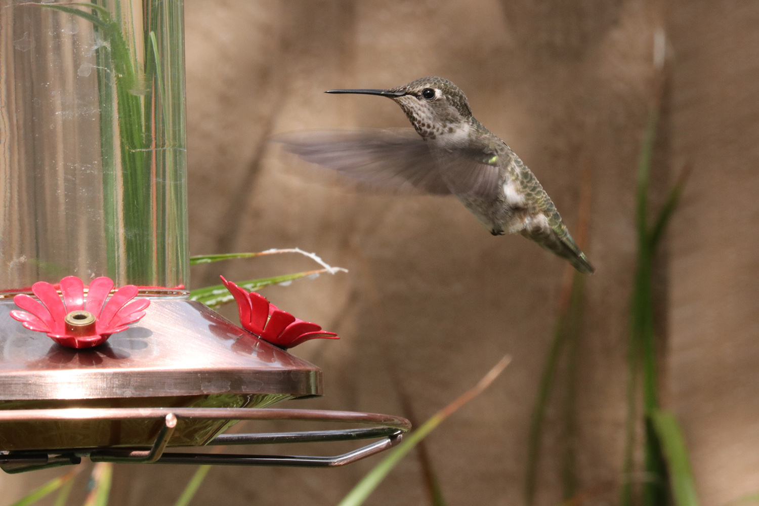 A ruby-throated hummingbird visits a backyard feeder in fall. Photo by Shutterstock.